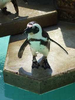 pinguin-zoo