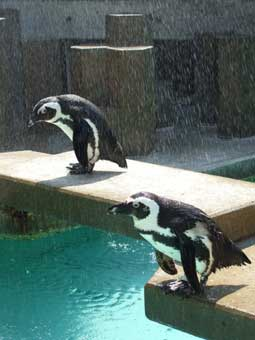pinguin-zoo2